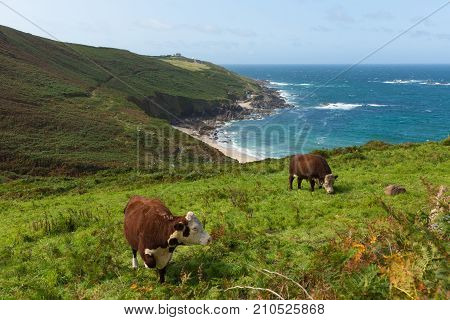 Cornish coast and countryside Portheras Cove Cornwall south west of St Ives with cows