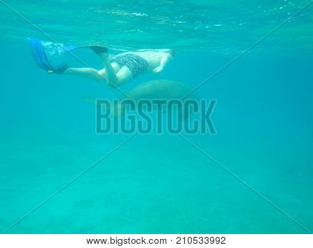 a man swims into the sea with a large marine animal, a sea cow