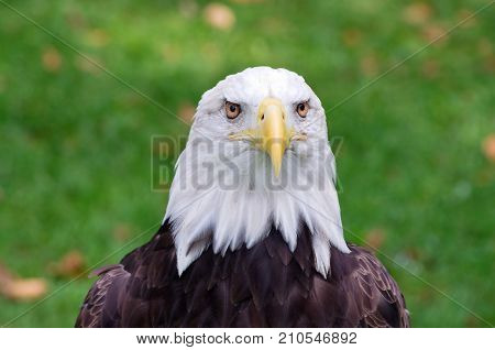 bald eagle or haliaeetus leucocephalus bird of prey isolated against backround with both eyes facing camera