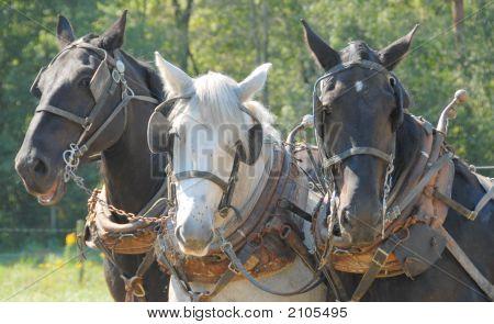 Plow Horse Trio