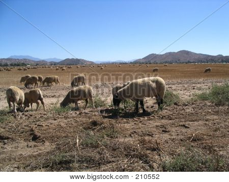 California Wool