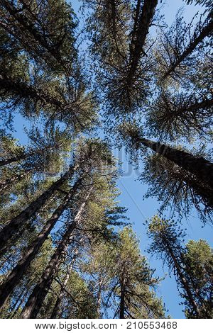 Forest pine tall trees treetops late in the afternoon and clear blue sky at Troodos Mountains in Cyprus