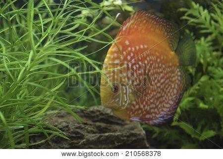 Discus fish Orange Symphysodon Discus in aquarium.