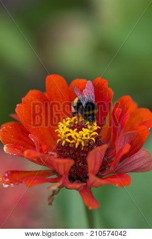 Zinnia. Lilac flower of Zinnia. Flower of Zinnia. Floral background.Common Classic Zinnia.