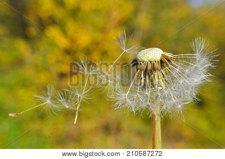 Dandelion with seeds blowing away in the wind. Dandelion seeds in nature.