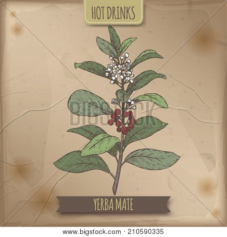Yerba mate aka Ilex paraguariensis branch with leaves and flowers color sketch. Hot drinks collection. Great for cafe, bars, tea ads.
