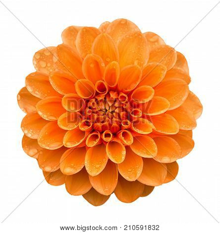 Orange yellow Dahlia flower with water drops on petals after rain top view. Isolated on white background.