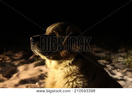Golden retriever head in the dark. Pets.
