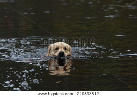Golden retriever swimming in the lake. Pets.