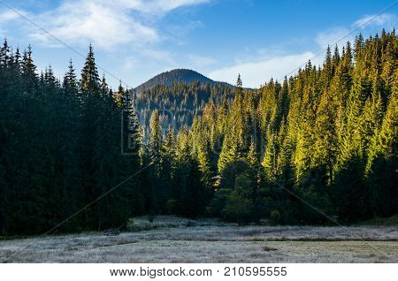 Spruce Forest In Morning Light