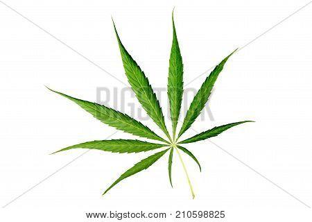 Cannabis leaf Isolated on white background. Green leaves marijuana.