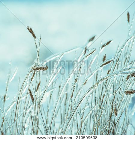 dry grass covered with ice against white snow in the field