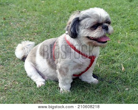 Shih Tzu puppy with red harness sitting on a green grass, cute small dog hairy messy in public park