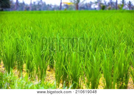 Close-up fresh green rice field natural background young rice in farm dried water. Rice fields in Bali island, Ubud, Indonesia.