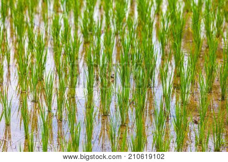 Close-up fresh green rice field natural background young rice in farm flooded with water. Rice fields in Bali island, Ubud, Indonesia.