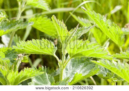 green stinging nettle in the summer season, growing in the field. close-up on the side