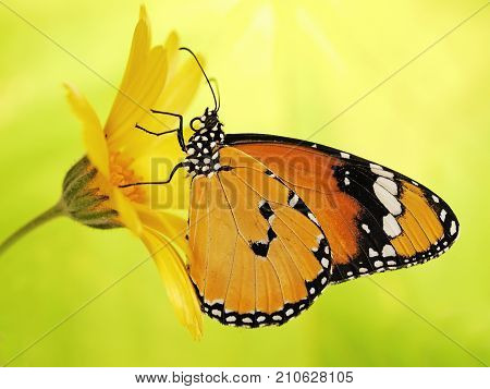 Plain tiger butterfly Danaus chrysippus on a marigold flower. Plain tiger is the most widespread butterfly in the world. The bright orange butterfly on yellow flower show up on blurred background
