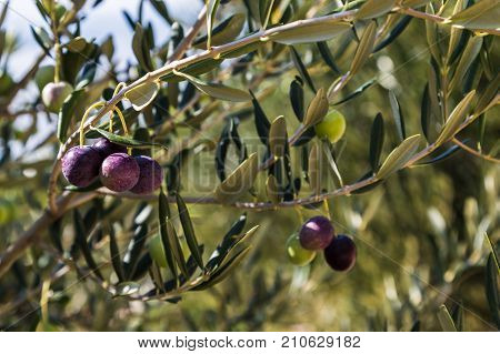 Olives Slowly Ripening