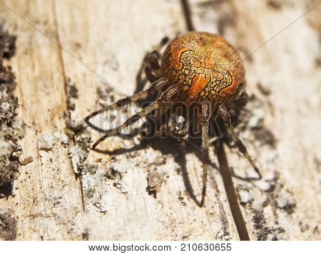 Marbled orb-weaver or garden cross spider Araneus marmoreus sits on a wood surface. The orange spider is lightened with the evening sunlight.