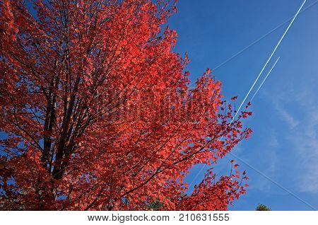 Maple tree exhibiting autumn leaf color, a phenomenon that affects the green leaves of deciduous trees by which they take on various shades of red, yellow, purple, and orange, with jet contrails.