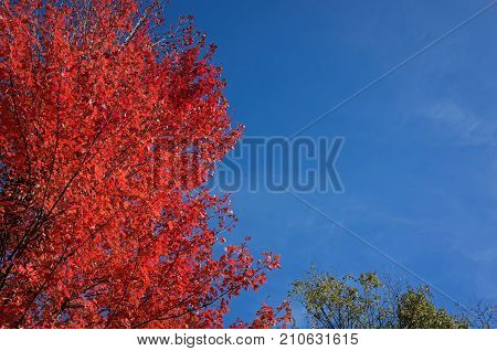 Maple tree exhibiting autumn leaf color, a phenomenon that affects the green leaves of deciduous trees by which they take on various shades of red, yellow, purple, orange, pink, magenta, and blue.