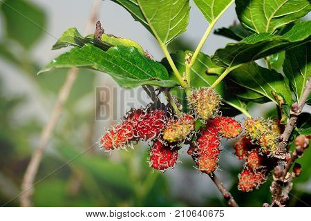 Unripe mulberries (red and green) on the branch in dawned bright and sunny day.Mulberry plantation : poster