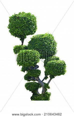 Green tree of Siamese rough bush, Toothbrush tree isolated on white background