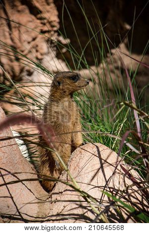 Meerkats or Suricates found in Africa. Meerkats are small. They live in groups called