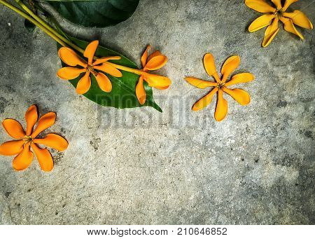 Kedah gardenia or Golden Gardenia. Yellow orange flower and green leaf on the cement floor. It is a fragrant flower. It can grow 4 to 5m in height and has glossy deep green leaves which grow in bunches and in evergreen.