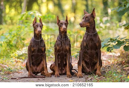 Three Doberman Pincher Relaxing In The Park
