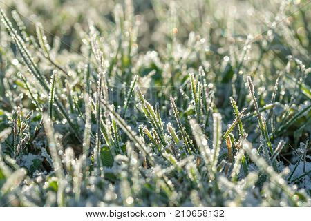 green grass on a meadow covered with snow. blur background winter meadows with grass covered with frost