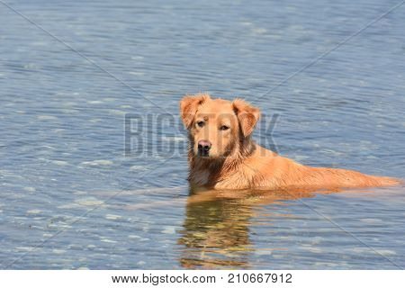 Cute duck tolling retriever pet dog in the water