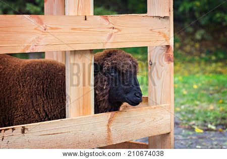 Sheep In An Enclosure For Animals.