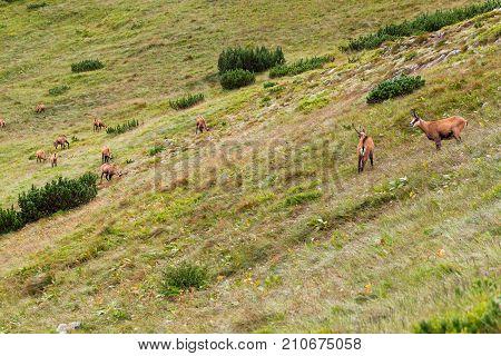 Tatra chamois in wilde environment. Hight Tatras, Slovakia, Europe