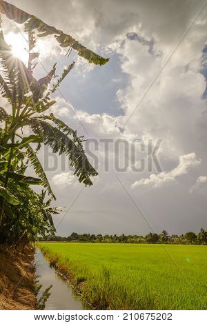 Dark Clouds Over Rice Field Before Rain Storm. Natural Background