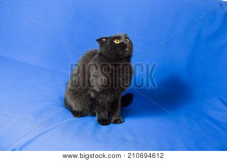 black lop-eared cat on a blue background.