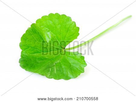Closeup leaf of Gotu kola Asiatic pennywort Indian pennywort on white background with water drop herb and medical concept