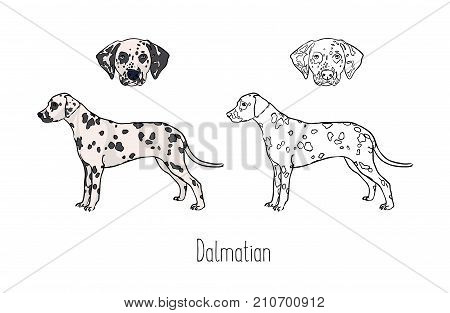 Collection of colored and monochrome line drawings of head and full body of Dalmatian, front and side views. Strong companion dog, pet animal with short spotted coat. Zoological vector illustration
