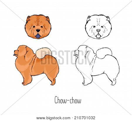 Bundle of colored and monochrome contour line drawings of face and full body of Chow Chow, front and side views. Sturdily built companion dog of ancient Chinese breed, pet animal. Vector illustration