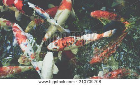 Carp Fish Japanese Koi Called Is A Aquatic Animal