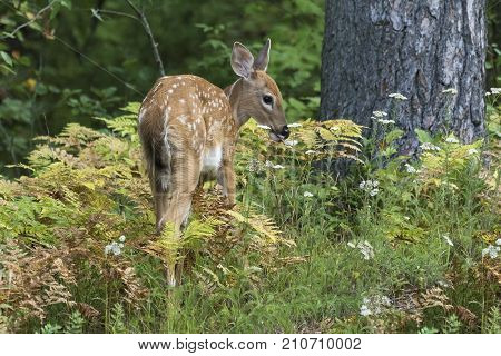 White-tailed Deer Fawn (odocoileus Virginianus) Browsing On The Forest Understory