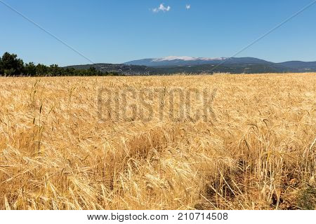 Cornfield and lavender fields near Sault and Mont Ventoux in the background. Provence France