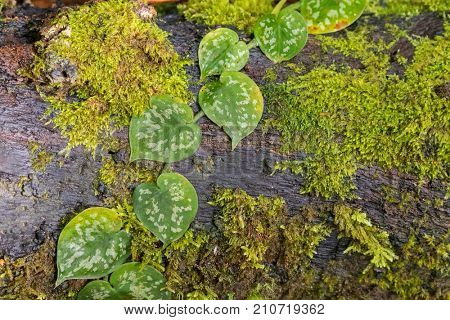 Heart shaped leaves of satin pothos, Silver vine with blotches growing on wood log covered with wet moss at Kinabalu, Malaysia, Asia (Scindapsus pictus)