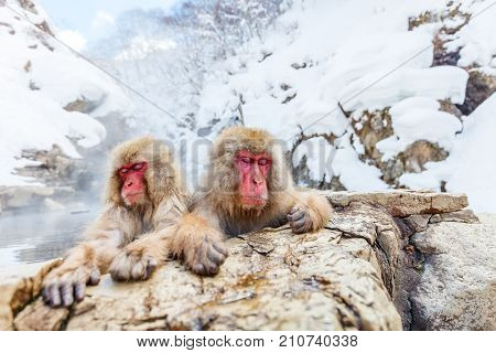 Snow Monkeys Japanese Macaques bathe in onsen hot springs of Nagano, Japan