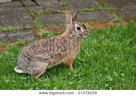 Wild Ohio Rabbit
