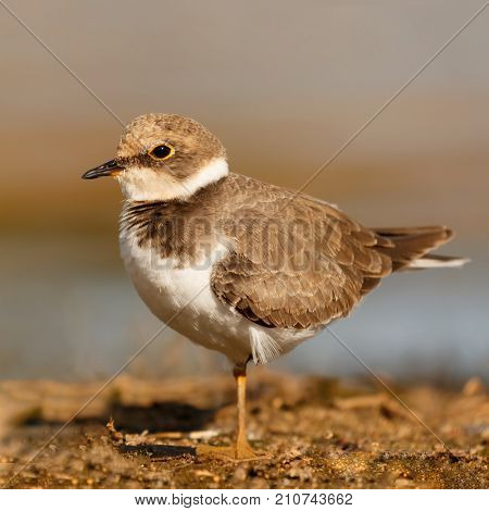 Little cute water bird. Nature background. Common bird Ringed Plover.