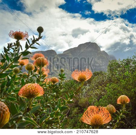 Pincushion Protea flowers with Table Mountain in the background, Cape Town, South Africa