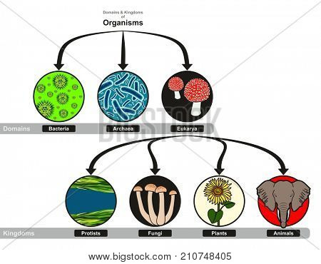 Domain and Kingdoms of Organisms classification chart infographic diagram including bacteria archaea eukarya protistis fungi plants and animals for biology science education