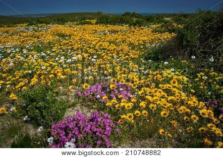 A field of yellow, white and purple wildflowers in spring on the South African West Coast near Paternoster