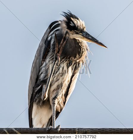 Great Blue Heron perched on the Oceanside Pier in San Diego, California.